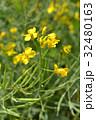 セイヨウアブラナ アブラナ科 総状花序の写真 32480163