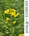セイヨウアブラナ アブラナ科 総状花序の写真 32480165