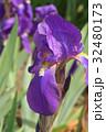 ドイツアヤメ アヤメ科 ジャーマンアイリスの写真 32480173