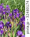 ドイツアヤメ アヤメ科 ジャーマンアイリスの写真 32480174