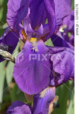 植物:ドイツアヤメ アヤメ科 32480176