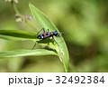 ハンミョウ 甲虫 オサムシ科の写真 32492384