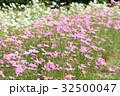 花 コスモス 花畑の写真 32500047