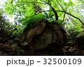 岩を包む木の根 32500109