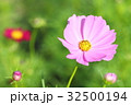 花 コスモス 花畑の写真 32500194