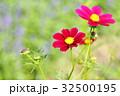 花 コスモス 花畑の写真 32500195