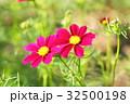 花 コスモス 花畑の写真 32500198
