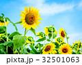 ひまわり畑 32501063