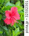 沖縄 ハイビスカス 32502301