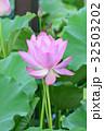 ハス ピンク 開花の写真 32503202
