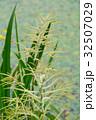 アスチルベ 升麻 泡盛草の写真 32507029