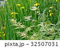 アスチルベ 升麻 泡盛草の写真 32507031