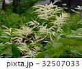 アスチルベ 升麻 泡盛草の写真 32507033