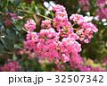 サルスベリ 百日紅 花の写真 32507342