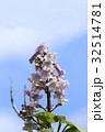 高貴で美しいキリの花 32514781