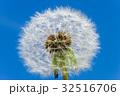 タンポポ 綿毛 クローズアップの写真 32516706
