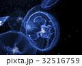 クラゲ 海月 水母 ミズクラゲ 32516759