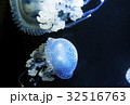 クラゲ 海月 水母 プンクタータ 32516763