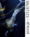 くらげ 海月 水母の写真 32516766