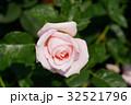 ばら バラ 薔薇の写真 32521796