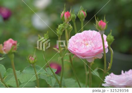 ピンク色のバラ メイヤー・オブ・キャスターブリッジ 32529356