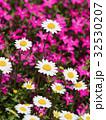 ノースポールの花 32530207