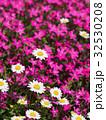 ノースポールの花 32530208