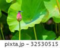 蓮 ピンク トンボの写真 32530515