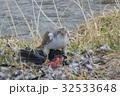 鷹 オオタカ 川辺の写真 32533648