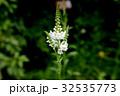 白花カウトラノオ 32535773