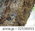 ガ 昆虫 虫の写真 32536053