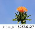 ベニバナ 紅花 花の写真 32536127