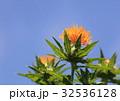 紅花 ベニバナ 花の写真 32536128