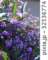 コマチフジ ハーデンベルギア 花の写真 32536774