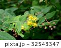 ビヨウヤナギ 花 黄色の写真 32543347