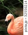 フラミンゴ ベニイロフラミンゴ 鳥の写真 32550214