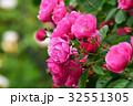 アンジェラ 薔薇 植物の写真 32551305