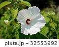 アメリカフヨウ 白い花 フヨウの写真 32553992