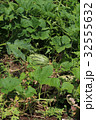 スイカ畑 32555632