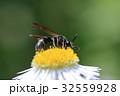 花 ヒメジョオン ドロバチの写真 32559928