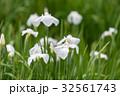 花菖蒲 菖蒲 花の写真 32561743