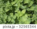 ミント 植物 緑の写真 32565344
