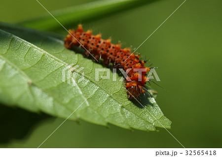 生き物 昆虫 オナガミズアオ、若齢幼虫です。小さいうちは赤茶色に黒の斑点模様です 32565418