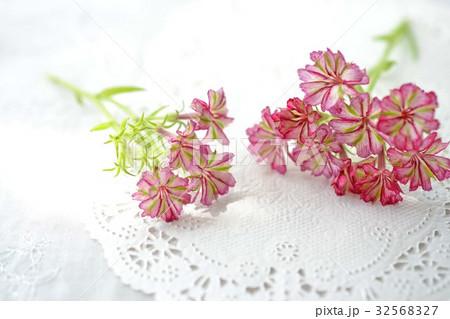 赤いフロックスの花 32568327