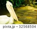 白いペリカン 32568504