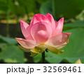 蓮の花 32569461