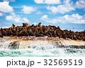 海岸 コロニー 群生の写真 32569519