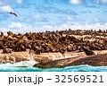 海岸 コロニー 群生の写真 32569521