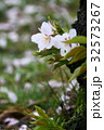 桜 春 ソメイヨシノの写真 32573267