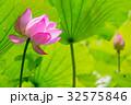 蓮 花 ハスの写真 32575846